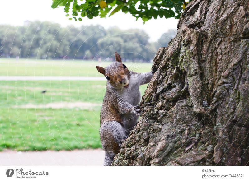 Hattu Nüsschen? Nature Landscape Tree Park Meadow Animal Wild animal Squirrel 1 Observe To feed Feeding Friendliness Curiosity Cute Brown Green Love of animals