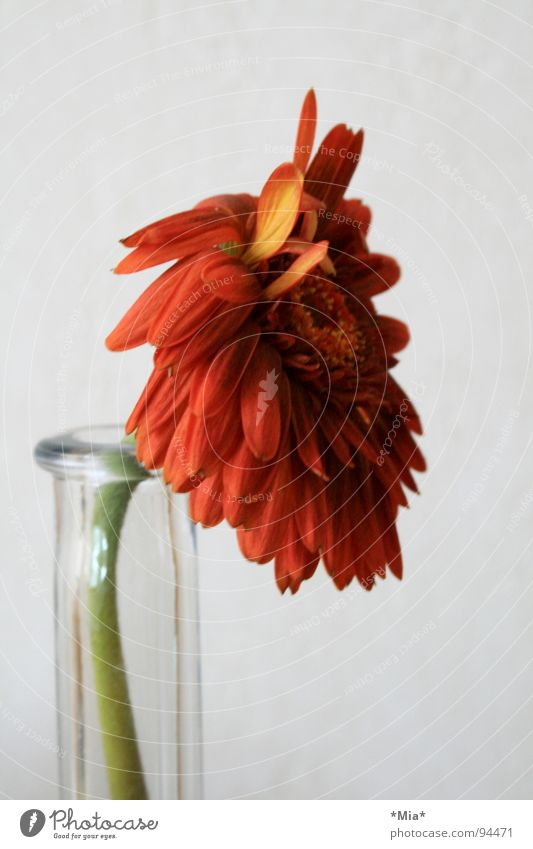Flower Green Plant Red Spring Orange Glass Stalk Vase Pollen Blossom leave Gerbera Foliage plant