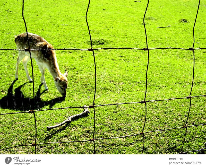 Green Loneliness Meadow Spring Lawn Fence Mammal Juicy Roe deer Fawn
