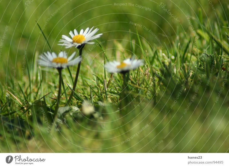 Flower Green Summer Meadow Blossom Grass Spring Garden Lawn Daisy Depth of field