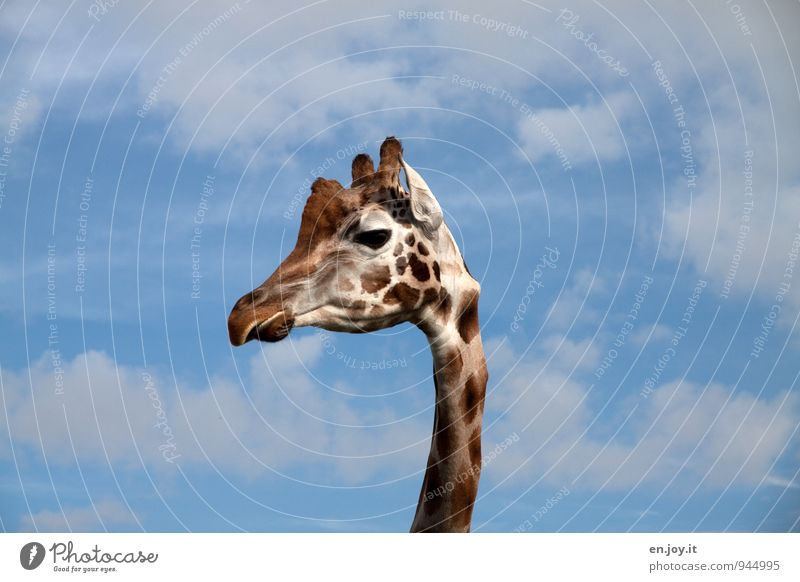 Blue White Animal Brown Head Wild animal Large Tall Joie de vivre (Vitality) Observe Curiosity Thin Ear Africa Long Patch
