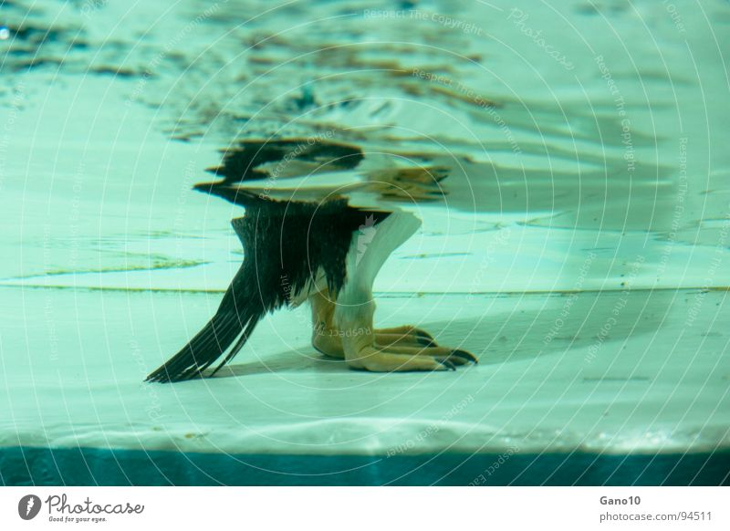 penguinitis Penguin Animal Zoo Cold Bird water underwater Underwater photo