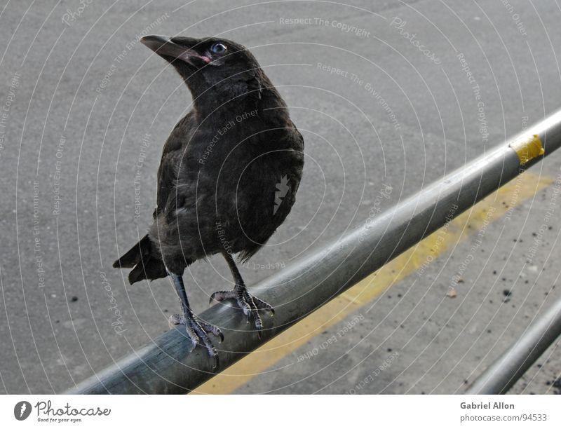 Black Yellow Gray Line Bird Metal Glittering Near Animal Handrail Raven birds Crow Lane markings