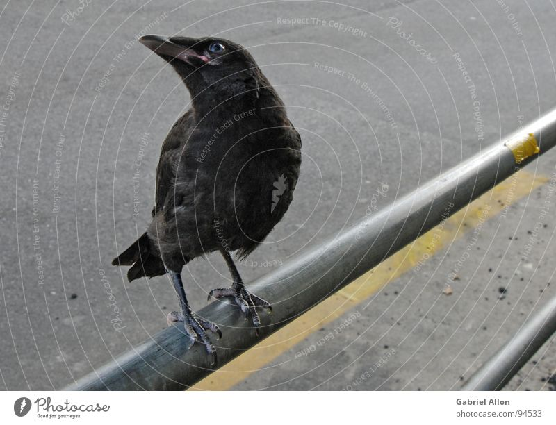 raven Raven birds Crow Yellow Black Bird Gray Glittering Near Handrail Metal Line Lane markings