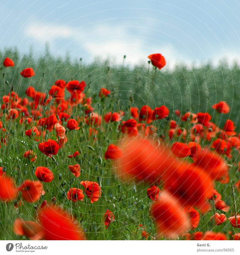 Nature Sky Green Red Summer Clouds Blossom Spring Wind Fresh Multiple Open Delicate Blossoming Poppy