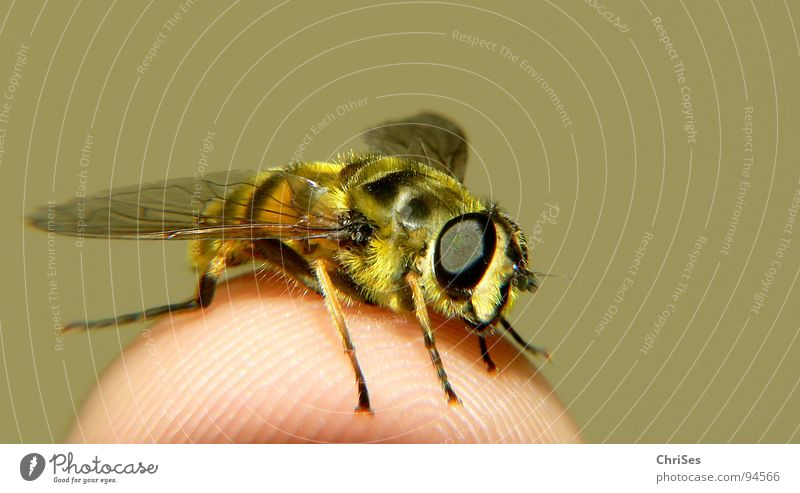 Summer Black Eyes Animal Yellow Fear Fingers Wing Insect Hover Panic Wasps Hover fly Dipterous Articulate animals