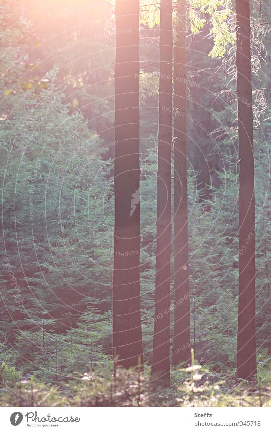 Incidence of light in a coniferous forest forest bath Coniferous forest summer forest shimmer of light Silence in the forest silent conifers Experiencing nature