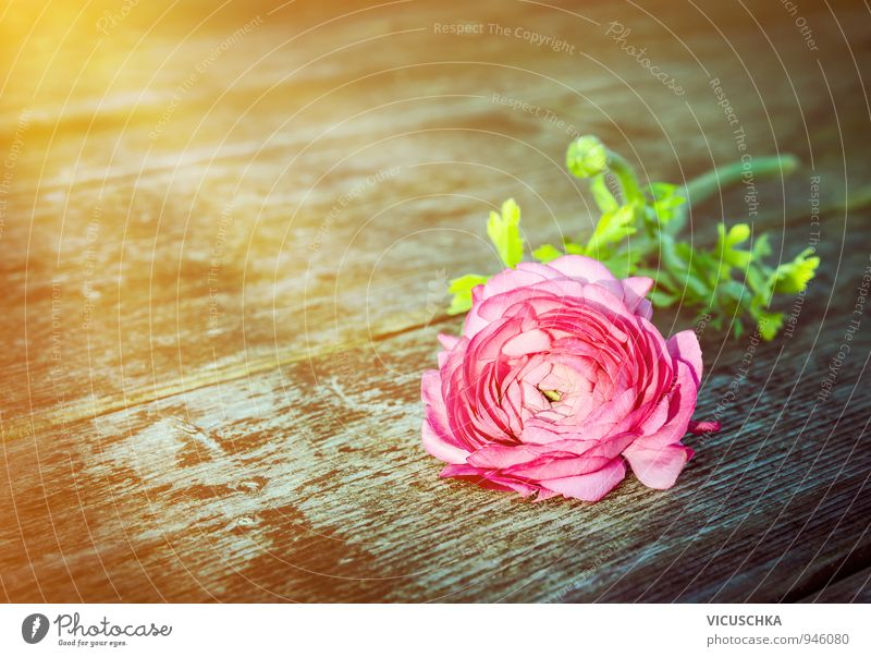 Rose on old wooden table in sun rays Leisure and hobbies Summer Sun Garden Feasts & Celebrations Valentine's Day Mother's Day Birthday Plant Sunrise Sunset