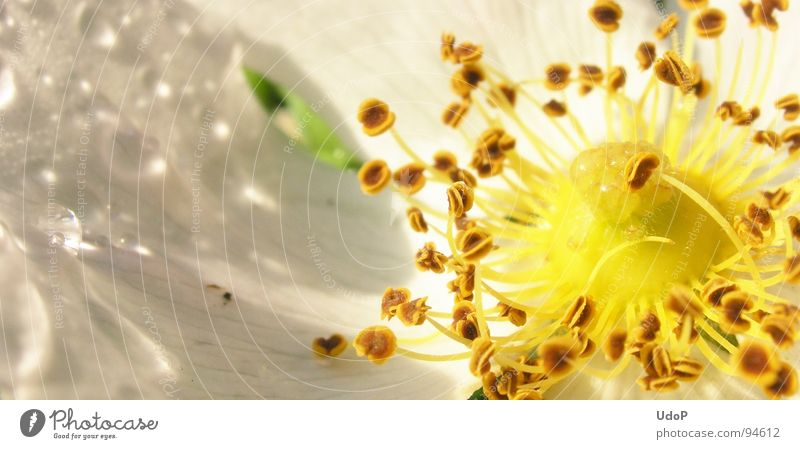 White Yellow Blossom Spring Rain Drops of water Rope Pistil Blossom leave Plant