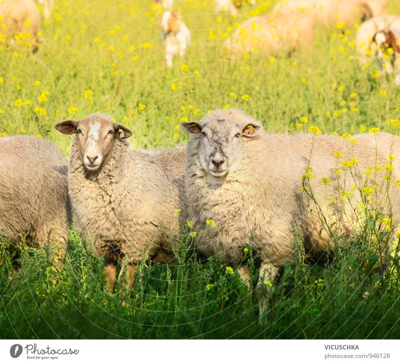 Two sheep with thick fur on summer pasture Lifestyle Leisure and hobbies Summer Nature Spring Autumn Beautiful weather Meadow Field Animal Farm animal 2 Love
