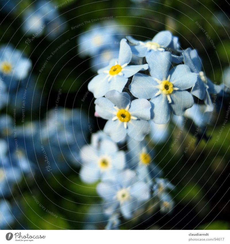 remembrance me Flower Blossom Forget-me-not Beautiful Delicate Graceful Plant Botany Blossom leave Green Blue Garden Marko Blossoming Nature