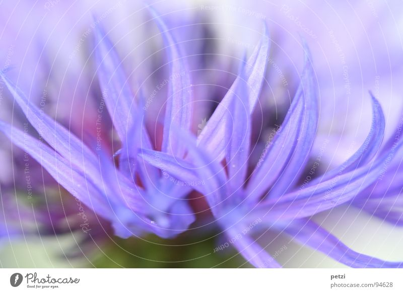 Blue rays Garden Plant Spring Flower Blossom Stripe Point Cornflower Blossom leave narrow color strip Colour photo Exterior shot Macro (Extreme close-up)