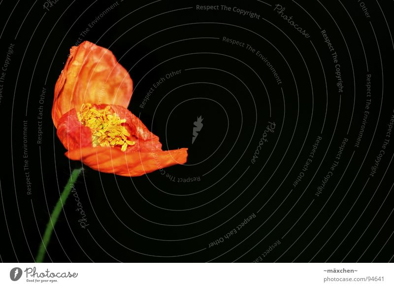 poppy Poppy Blossom Stalk Red Yellow Green Spring Macro (Extreme close-up) Close-up Orange Blossoming wear down Limp