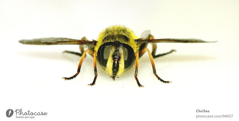 Summer Black Eyes Animal Yellow Fear Fingers Wing Insect Bee Panic Hover Frontal Attack Wasps Hover fly