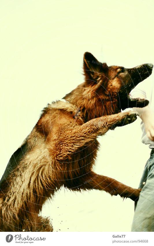 Joy Jump Playing Dog Dangerous Catch Dynamics Ascending Bite Muzzle Animal Attack Attack German Shepherd Dog