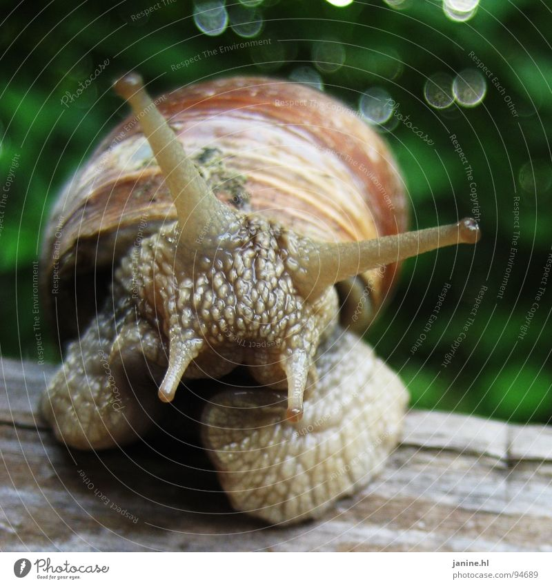 wine-bear snail Vineyard snail Soft Sweet Disgust Slimy Slowly Green Brown Fresh Summer Autumn Animal Curiosity Interesting Feeler Love of nature Speed Crawl