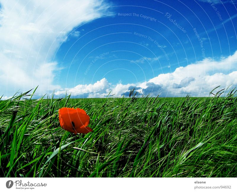 Nature Beautiful Sky Green Blue Red Clouds Nutrition Colour Blossom Spring Field Dresden Grain Poppy Feed