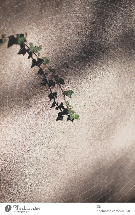 ivy Environment Nature Beautiful weather Plant Leaf Foliage plant Ivy Wall (barrier) Wall (building) Growth Colour photo Exterior shot Deserted Copy Space right