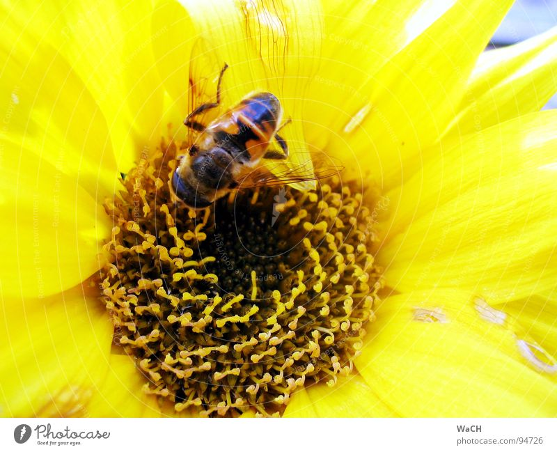 Summer Flower Yellow Lighting Bee Pollen Sprinkle Maya Vanilla sex