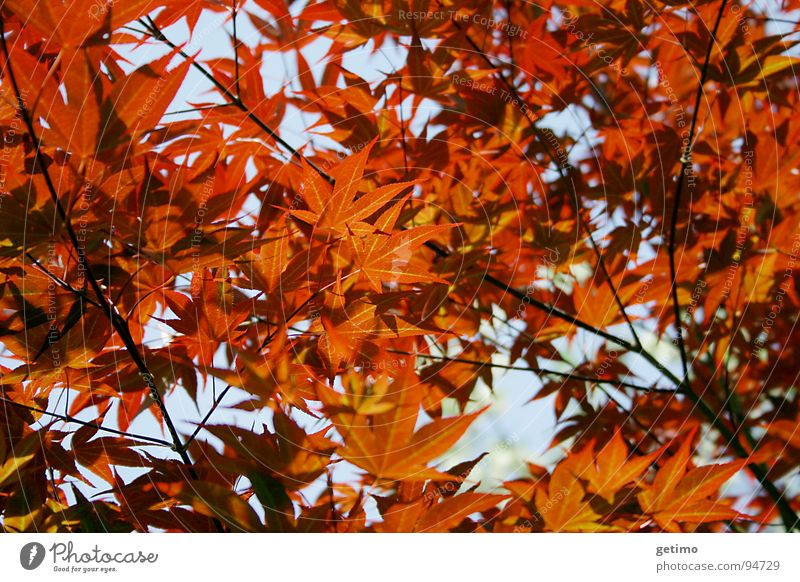 sea of flames Leaf Small Red Dark Physics Tree Maple tree Hope Grief Exterior shot Back-light Spring Autumn Lamp Warmth Treetop Nature Garden Japan Flame