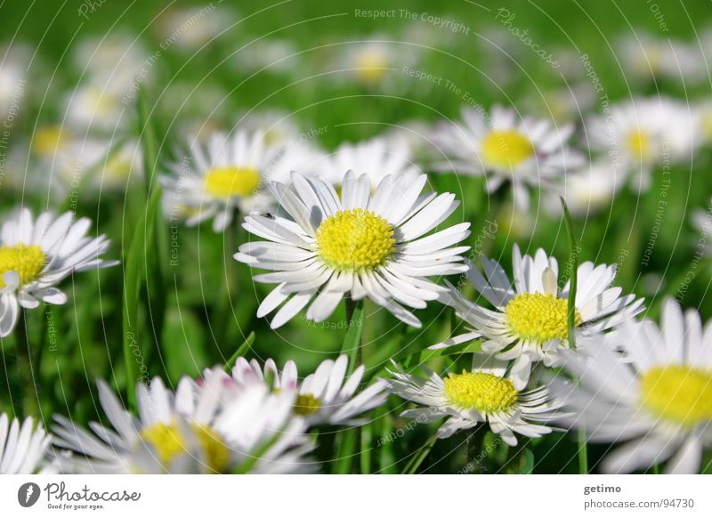 Nature Beautiful Green White Flower Yellow Meadow Spring Germany Fresh Multiple Hope Many Daisy