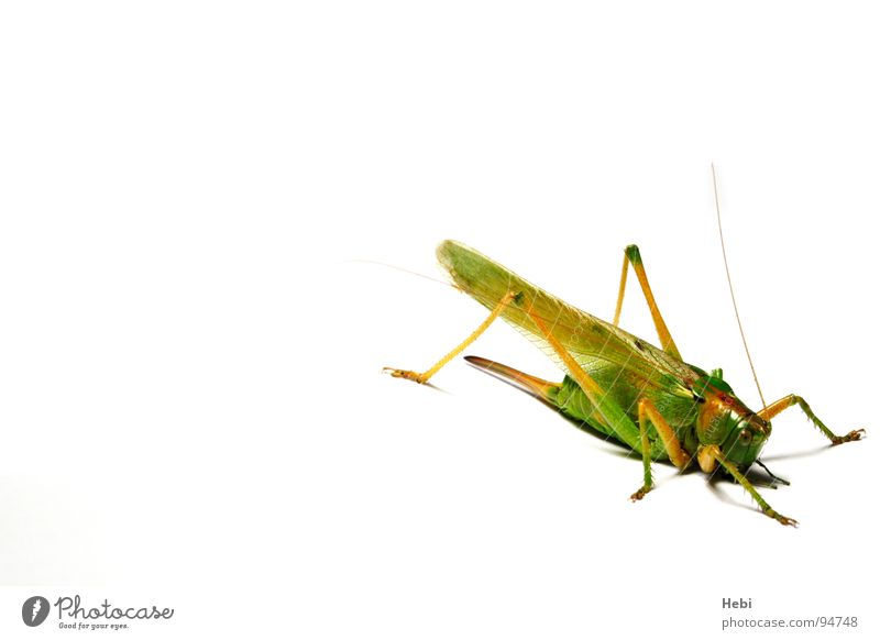 Green Summer Animal Insect Disgust Noble Monster Locust House cricket