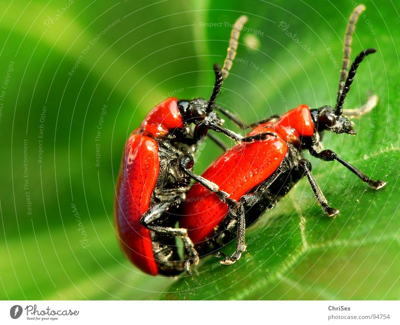 Green Red Animal Black Spring Pair of animals Transport In pairs Insect Lust Beetle Lily Voyeurism Chili Propagation Rutting season