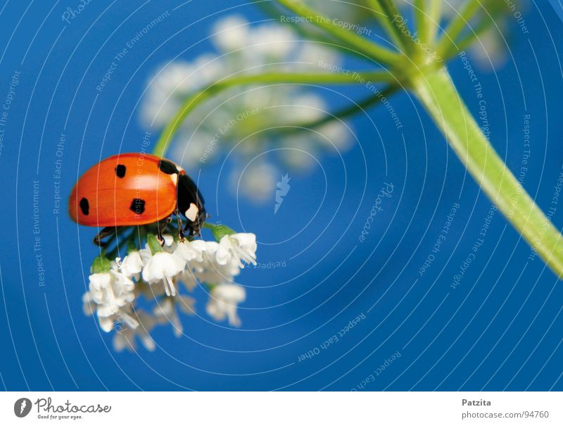 Sky White Flower Blue Red Summer Meadow Grass Spring Insect Blade of grass Ladybird Beetle