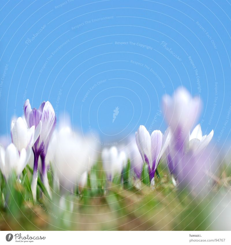 Flower Meadow Jump Blossom Spring Fresh Pasture Motive Alpine pasture Wake up Crocus Assembly Mountain meadow