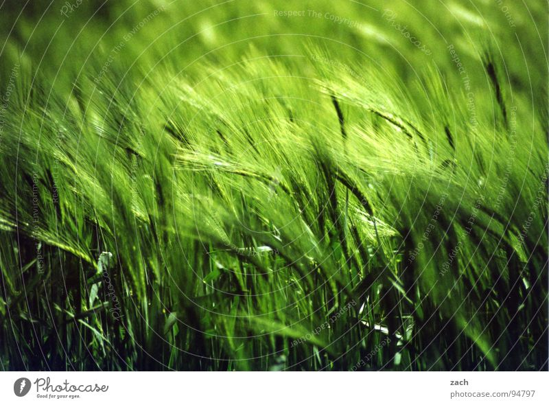 Green Meadow Spring Movement Air Waves Field Wind Nutrition Agriculture Grain Africa Appetite Common Reed Stalk Grain