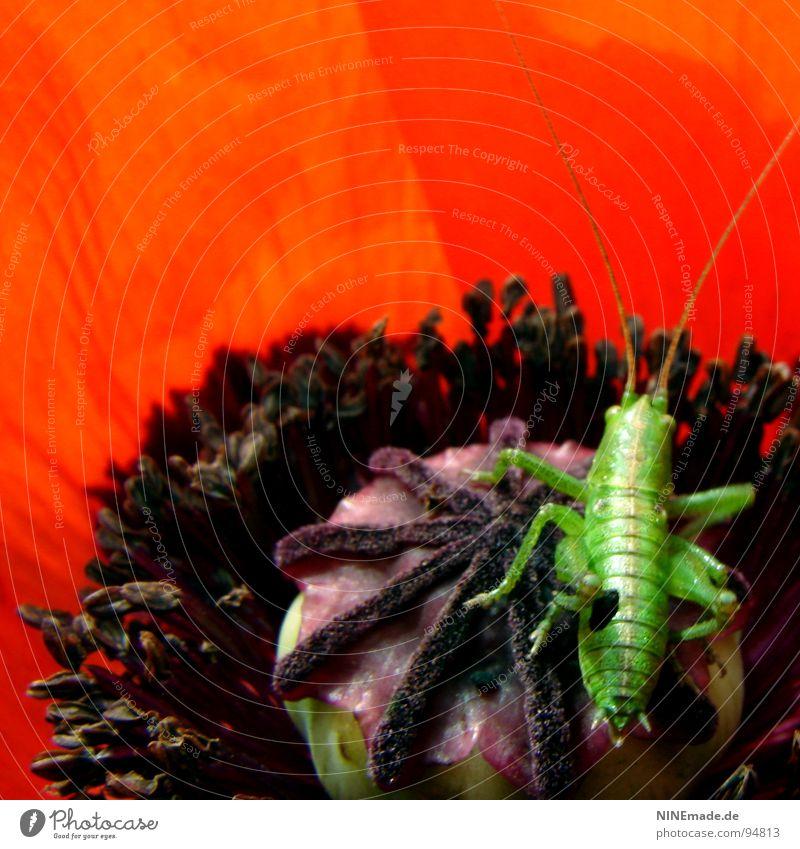Nature Flower Green Red Summer Black Jump Blossom Legs Violet Insect Poppy Feeler Crawl Pollen Salto