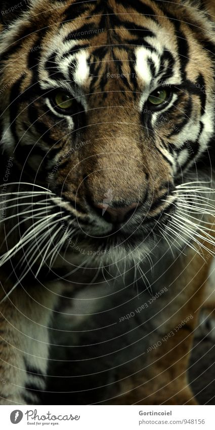 700 strips Animal Wild animal Animal face Pelt Zoo 1 Exotic Strong Dangerous Tiger Sumatran Stripe Striped Land-based carnivore Big cat Colour photo