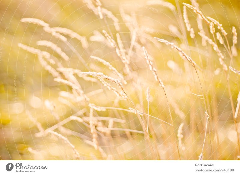 Nature Summer Environment Yellow Warmth Meadow Grass Gold Golden yellow Grass blossom