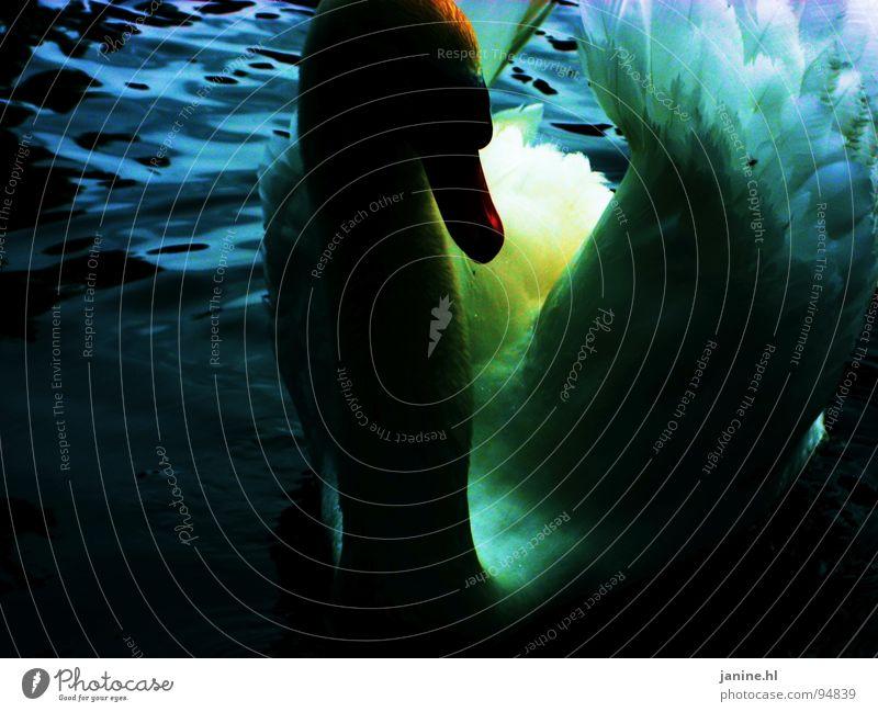 Water Beautiful White Blue Animal Dark Bird Wing Pure Neck Duck Beak Swan Banal Maturing time Duck birds