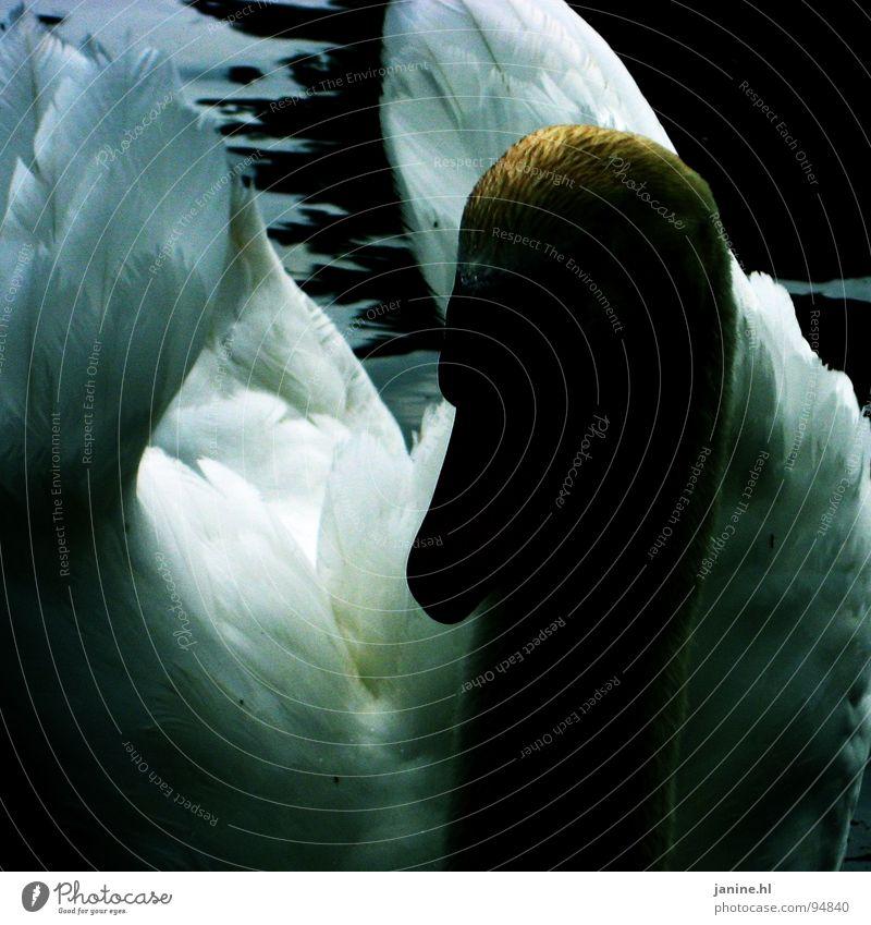 Water Beautiful White Blue Animal Dark Bird Feather Wing Pure Curiosity Neck Duck Beak Swan Sublime