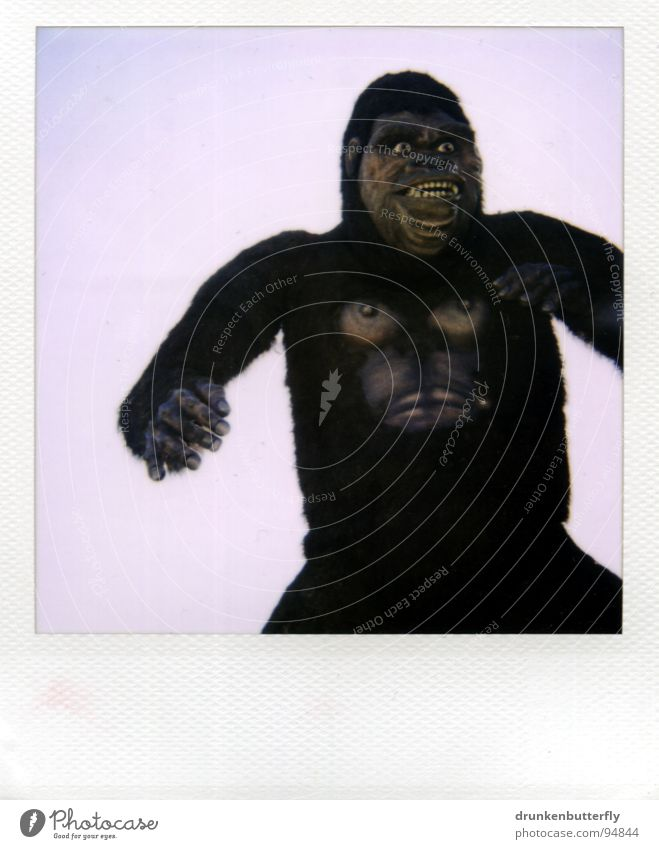 King Kong's alive! Gorilla Monkeys Animal Pelt Zoo Animation Creepy B movie Obscure monkey man Doll Claw Chest Sky Stage play Polaroid
