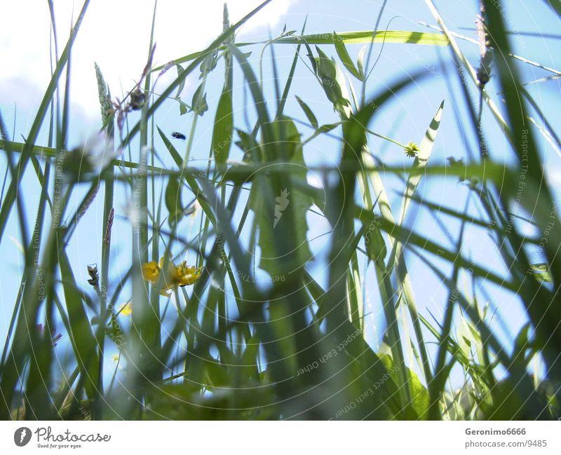 Nature Flower Green Summer Meadow Grass Fly Switzerland