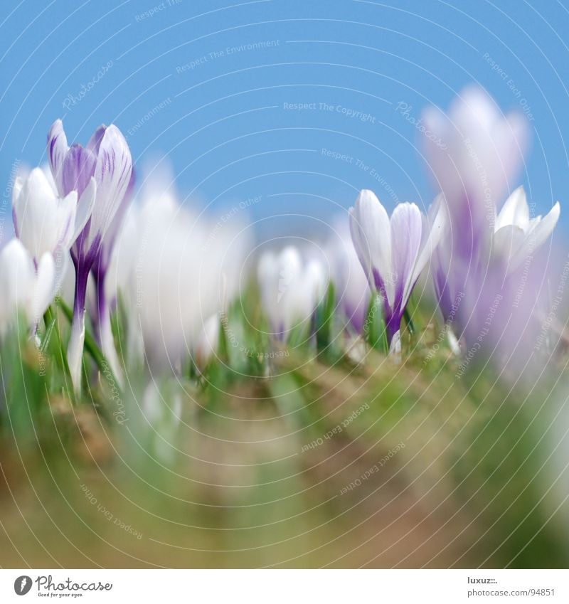 Budding II Crocus Flower Meadow Blossom Spring Alpine pasture Assembly Fresh Motive Mountain meadow Wake up Jump Pasture motif grassland