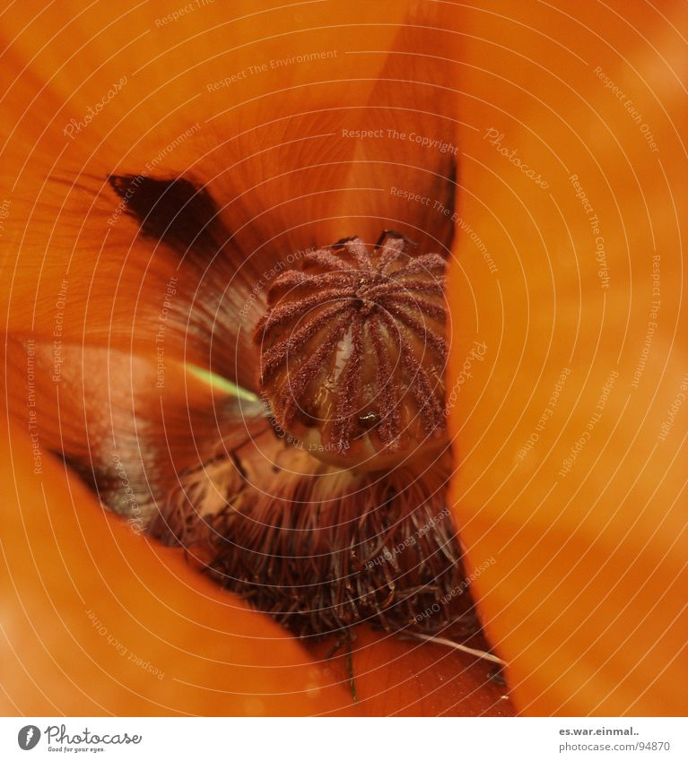 Beautiful Flower Red Summer Brown Orange Force Fragrance Poppy Odor Hippie Brownish