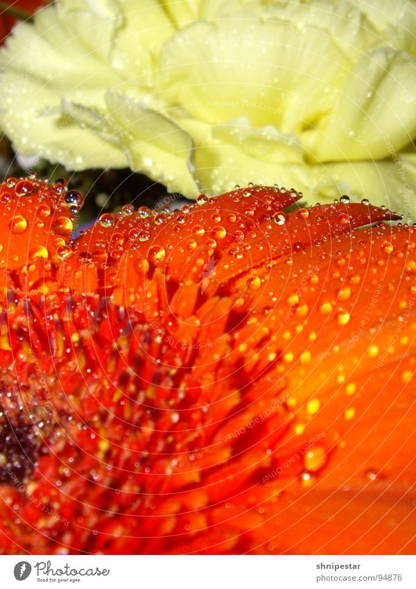 Flowers and such Blossom Red Yellow Pastel tone Macro (Extreme close-up) Close-up Orange Water drip droplet Clarity Detail Waterproof Sphere