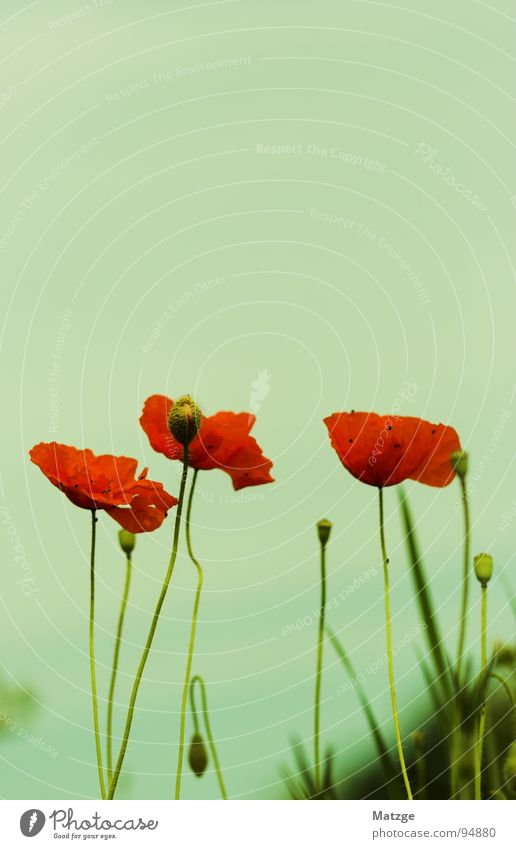 Sky Flower Green Blue Red Meadow Blossom Poppy Seed May Corn poppy Chalky meadow