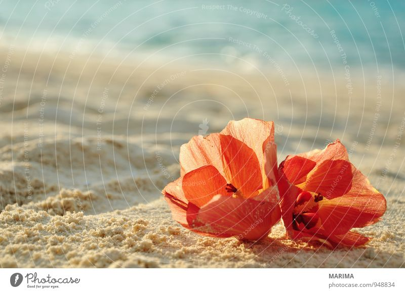 two flowers on the beach Exotic Relaxation Vacation & Travel Tourism Summer Beach Ocean Nature Landscape Plant Sand Water Flower Blossom Red Turquoise 2 Asia