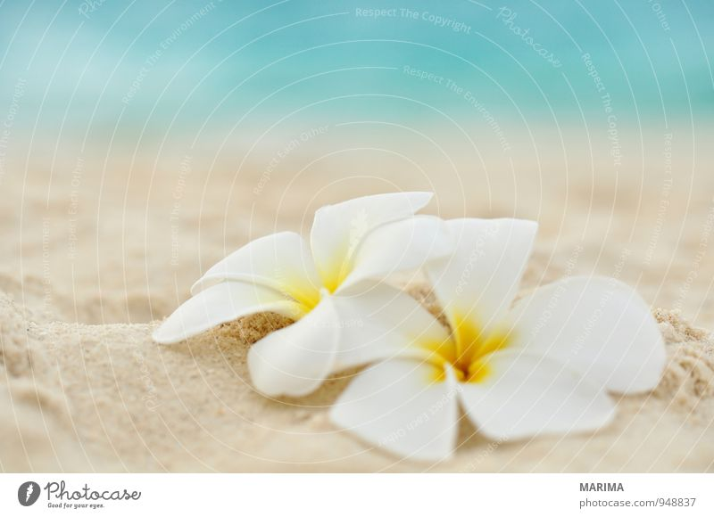two flowers on the beach Exotic Harmonious Relaxation Vacation & Travel Summer Beach Ocean Nature Plant Sand Water Flower Blossom Yellow Turquoise White 2 Asia