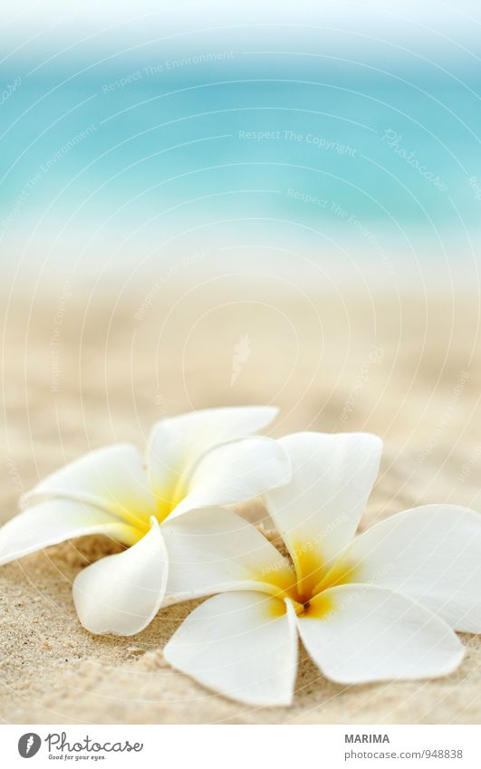 two flowers on the beach Exotic Harmonious Relaxation Vacation & Travel Summer Beach Ocean Nature Plant Sand Water Flower Blossom Yellow Turquoise White Asia