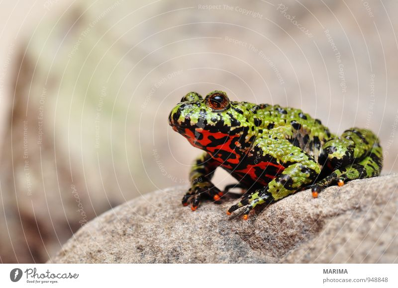 Firebellied Toad sitting on a stone Style Nature Animal Water Pond Lake Frog Stone Sit Disgust Wet Gray Green Red Black Amphibian Asia Europe flaming toad Frogs