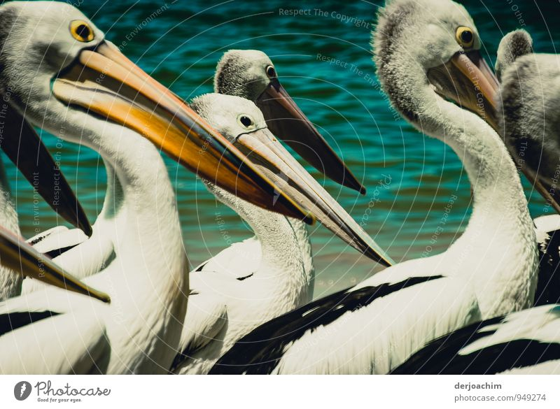 In the middle of the pelicans on the beach of Labrador.Queensland / Australia Joy Harmonious Leisure and hobbies Vacation & Travel Environment Water Summer