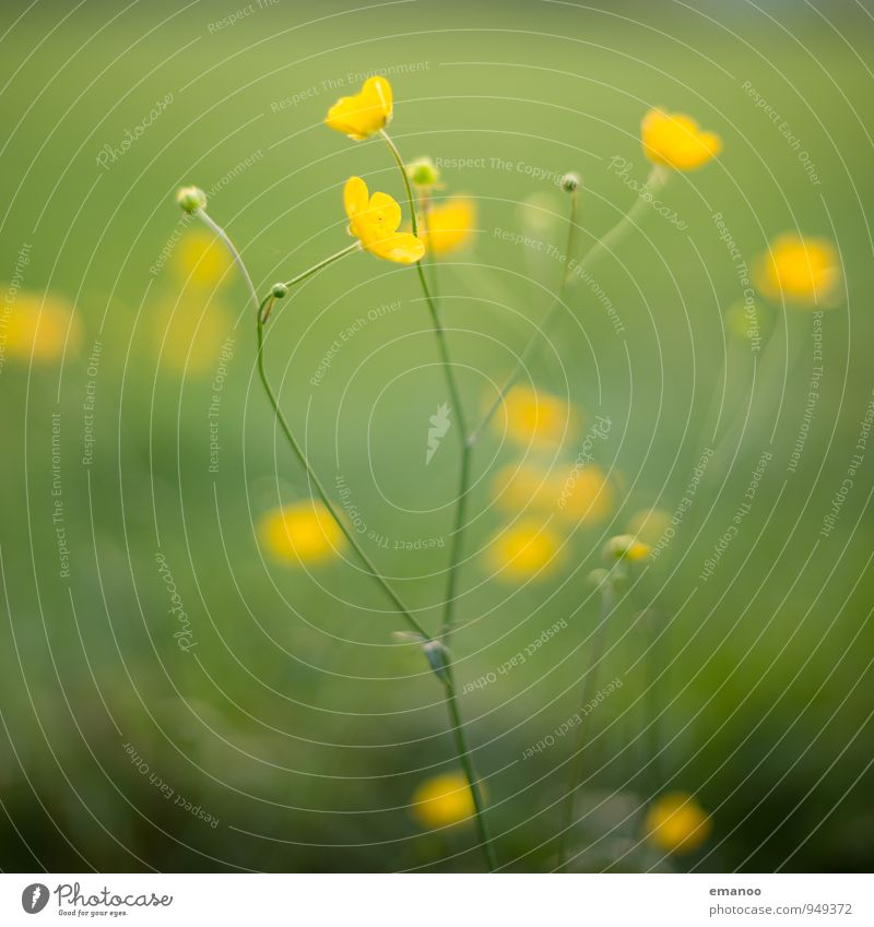 buttercups Nature Plant Summer Climate Grass Bushes Blossom Foliage plant Wild plant Garden Park Meadow Field Illuminate Growth Natural Yellow Green Crowfoot