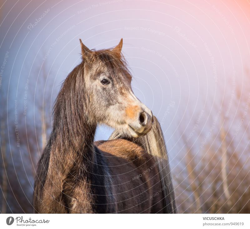 Arabian horse with winter coat in morning light Design Winter Nature Spring Autumn Weather Beautiful weather Park Forest Animal Farm animal Horse 1 Arabien