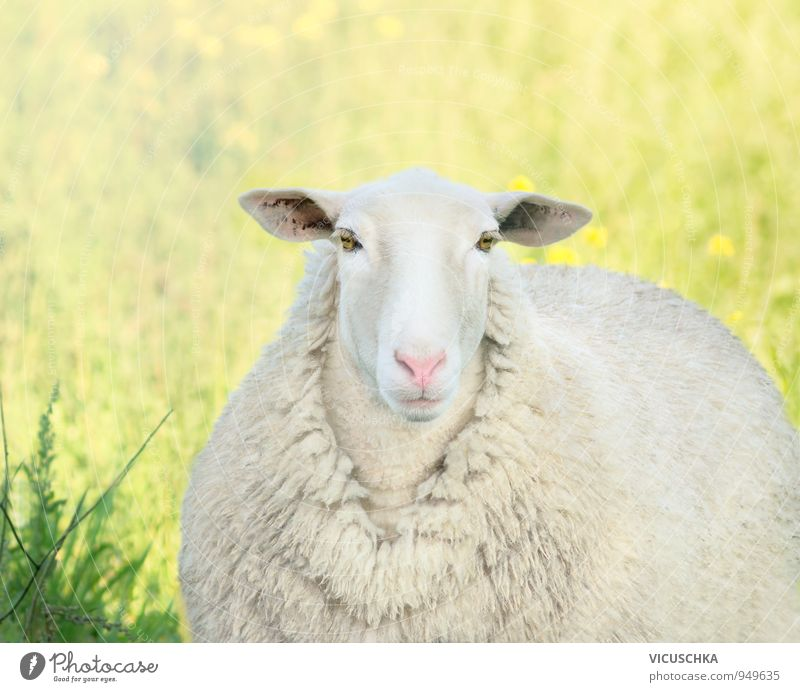 white lamb with pink nose on the meadow Lifestyle Summer Nature Plant Animal Sun Spring Meadow Field Farm animal Animal face Pelt 1 Yellow Pink White portrait