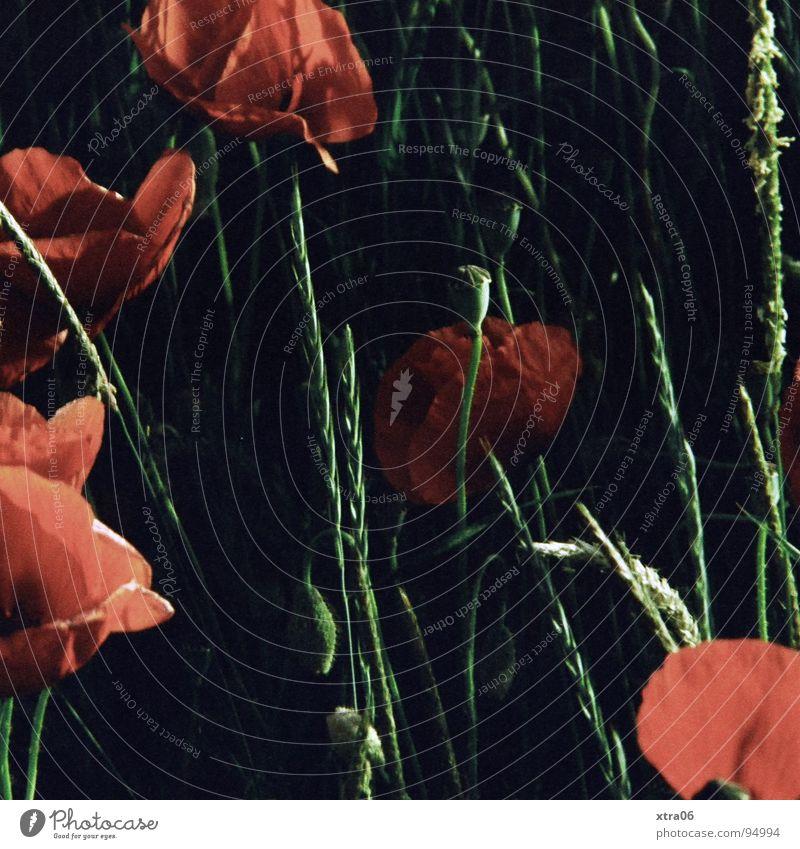 Flower Plant Red Summer Dark Blossom Spring Poppy Opium poppy